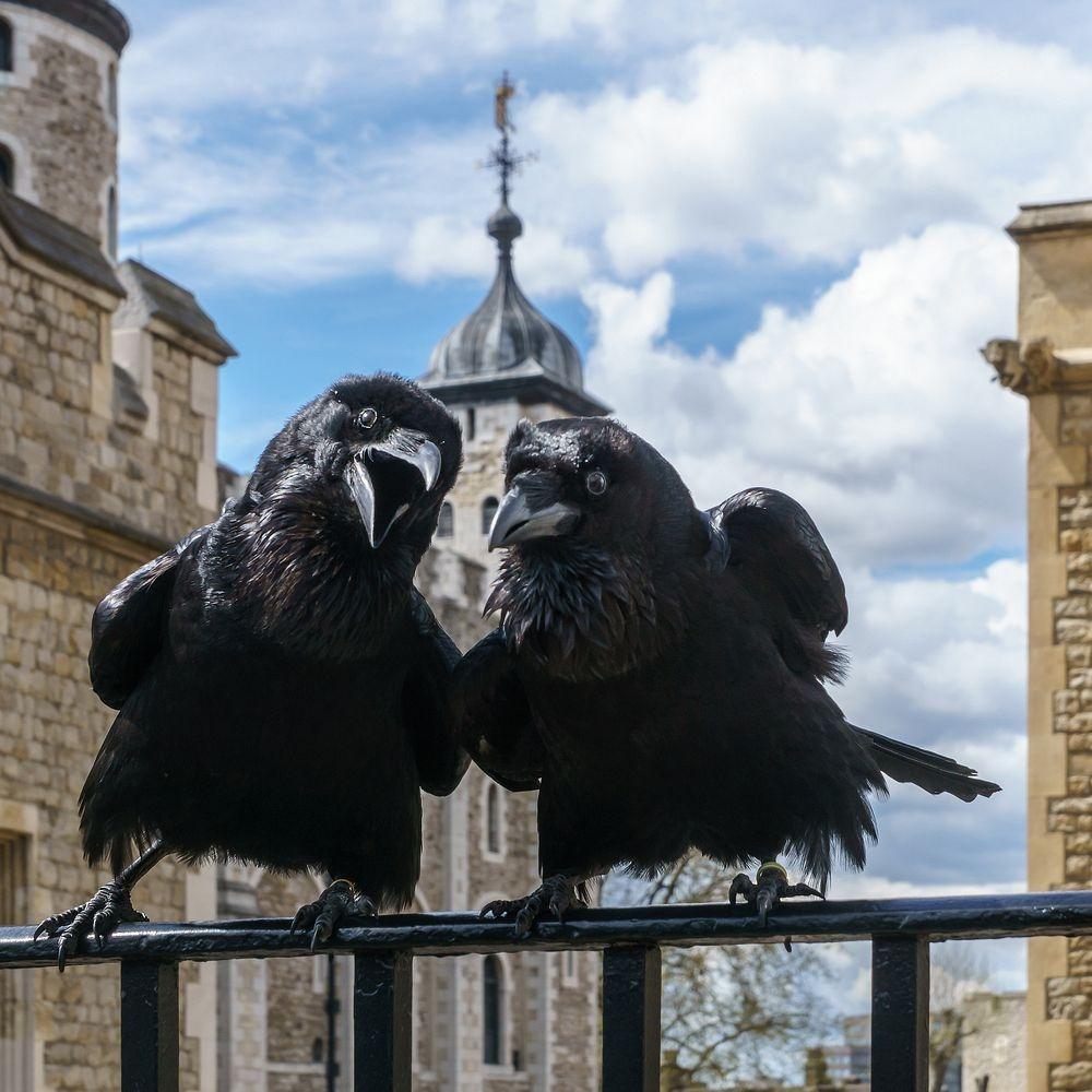 راز نگهداری از کلاغ های سیاه در برج لندن چیست؟