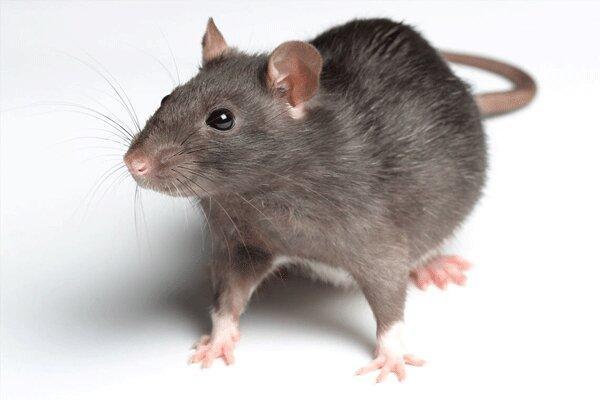 نبرد بی امان با موش های نروژی تهران