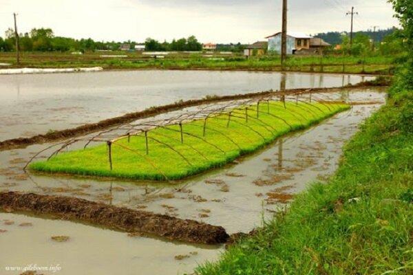 کشاورزان نگران سرمازدگی خزانه برنج نباشند