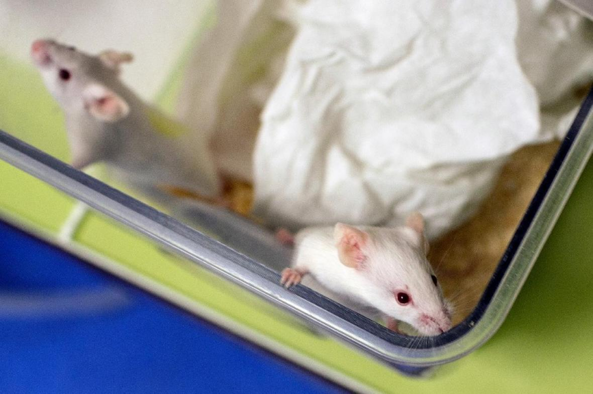 موش پیوندی که 4 درصد آن انسان است